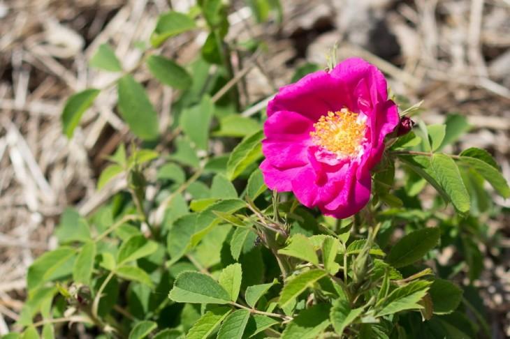 Une des toutes premières roses du Rosarium d'Autun