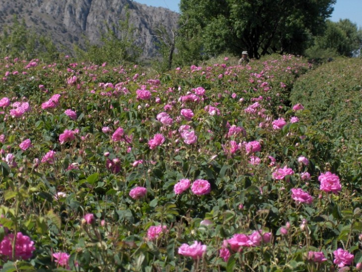 Champ de rosa damascena en Turquie