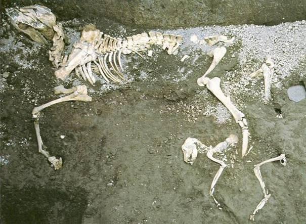 squelettes d'une mule et d'un chien enlacés