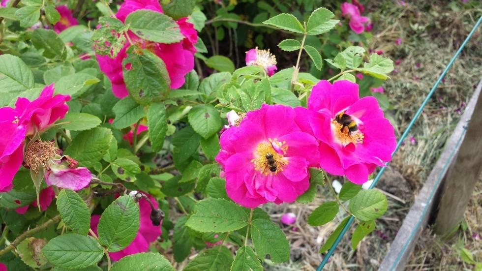 le parfum et le suc des rosa gallica officinalis furent également un régal pour les abeilles et les bourdons